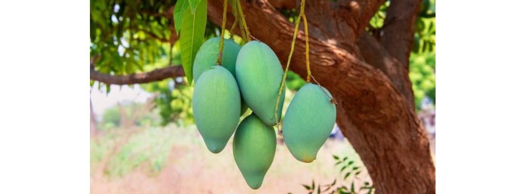 Wat is mangohout